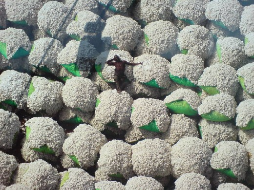 Worker resting on bales of cotton